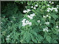 NJ9304 : Umbelliferous flowers by old rail track by Stanley Howe