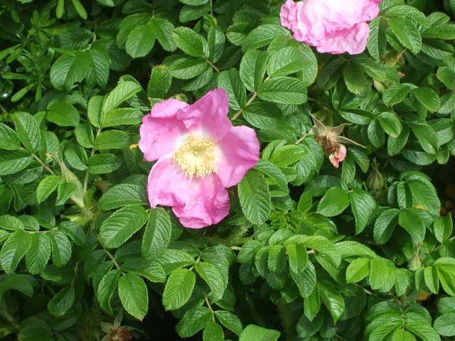 Wild Rose by old Deeside Railway