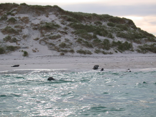 Grey Seal colony Monach Isles