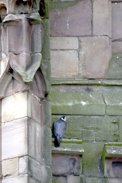 Newly fledged peregrine on the cathedral tower