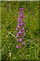 TQ2252 : Fragrant Orchid (Gymnadenia conopsea) by Ian Capper