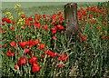 SE3810 : Bright hedgerow by Steve  Fareham