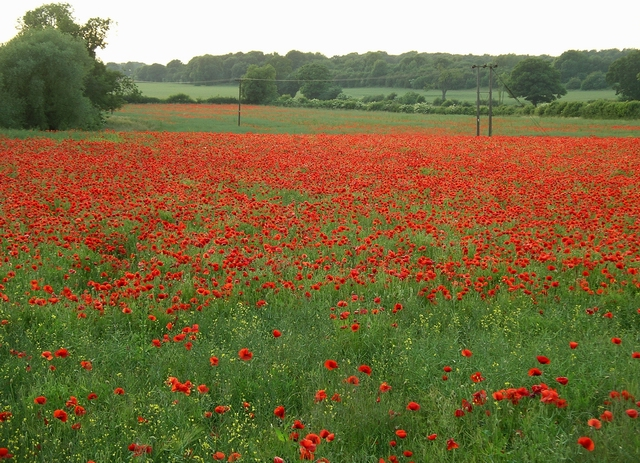 Poppies, Nuthall