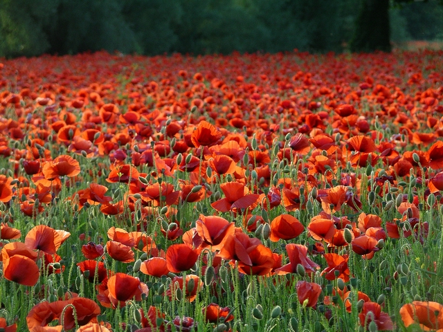 A profusion of poppies