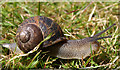 NS3554 : Common Snail on lawn : Week 24