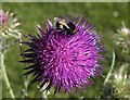 SX9152 : Bee on thistle : Week 24
