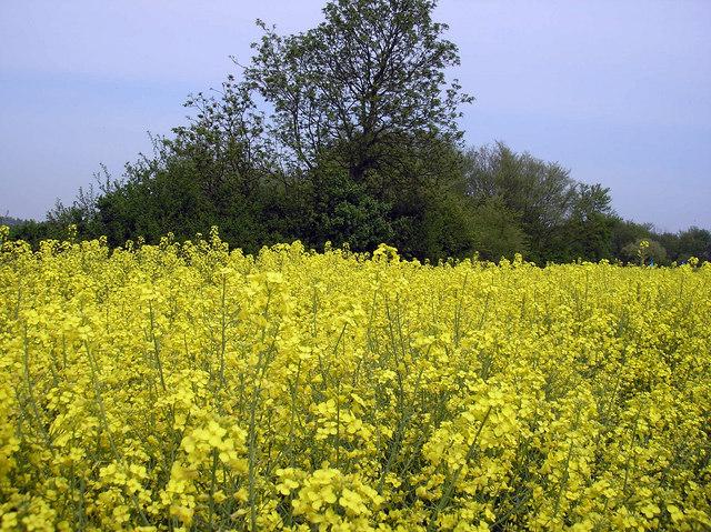 Field of Rape Seed