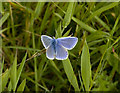 SW9755 : Blackpool Trail,  Common Blue butterfly by Rabbi WP Thinrod
