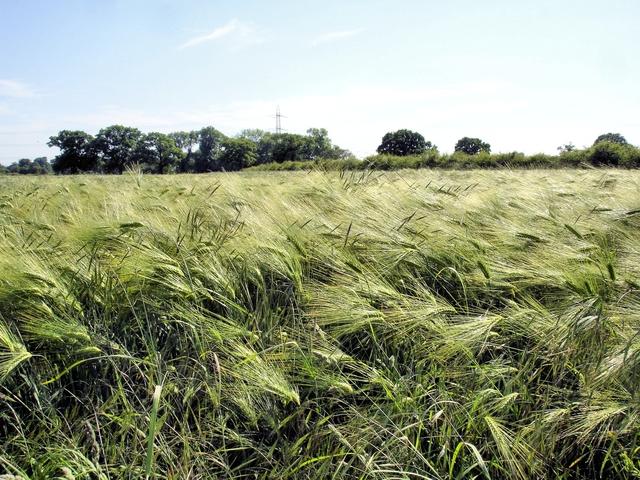 Haslington - barley field