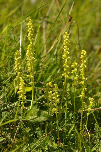 Musk Orchids (Herminium monorchis)