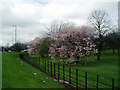 TQ5074 : Roadside blossom trees by Dr Neil Clifton
