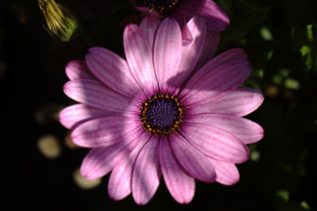 Close-up of osteospermum