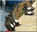 J5082 : Black Guillemots, Bangor [7] by Rossographer