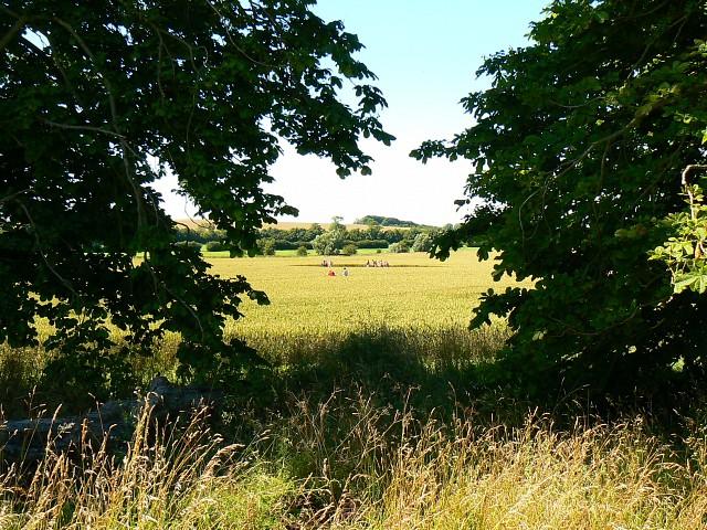 Wheat field near Avebury Manor