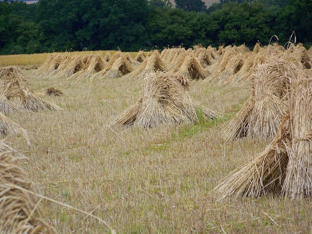 Wheat sheaves near King's Somborne