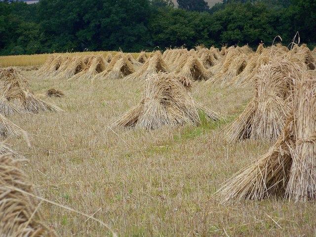 Wheat sheaves near King's Somborne