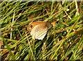 SX2059 : Butterfly in the meadow by Derek Harper