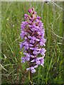 NS3778 : Heath Fragrant-orchid (Gymnadenia borealis) by Lairich Rig