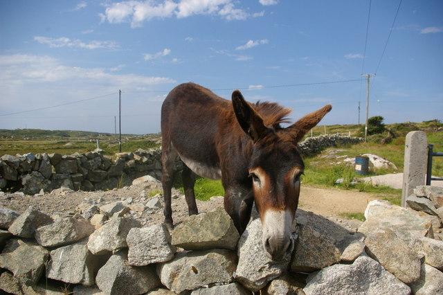 Donkey leering over stone wall
