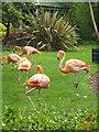 SW5536 : Flamingos at Paradise park wildlife sanctuary by Rod Allday