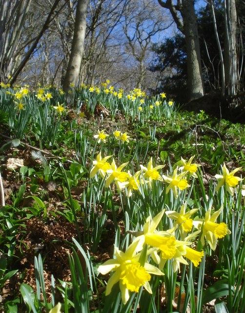 Wild daffodils in News Wood