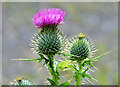 NN8112 : Thistle growing at the side of the track : Week 31