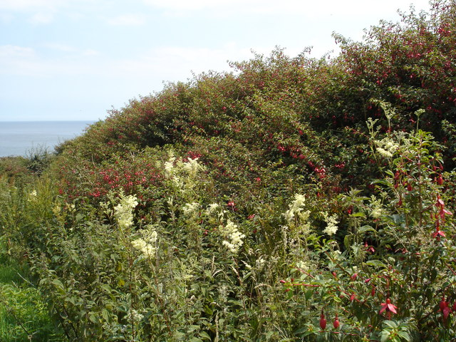 Fuchsia and meadowsweet near the sea