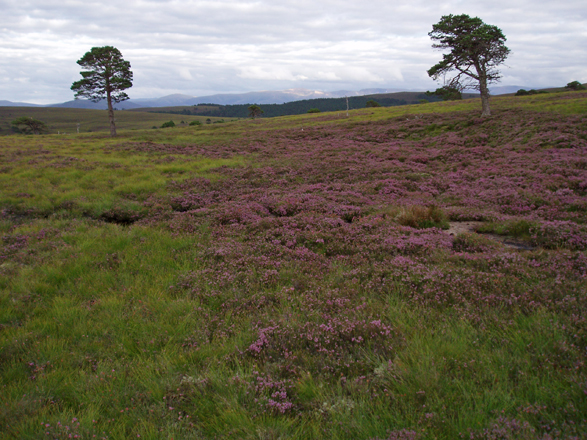 Grouse Moor, Kinveachy Forest