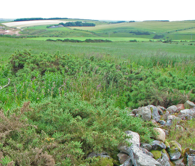 Gorse at the southeast edge of Cairn Catto