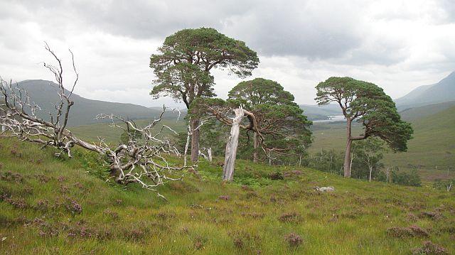 Pine woods, Gleann Fuar