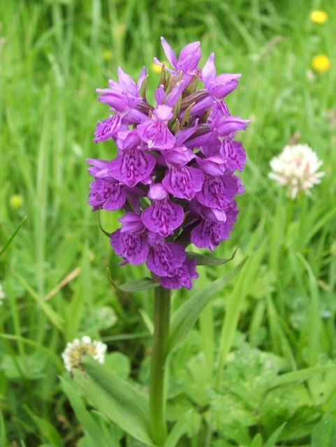 Northern Marsh-orchid (Dactylorhiza purpurella)