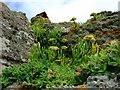 SM7932 : Rock samphire (Crithmum maritimum) by ceridwen