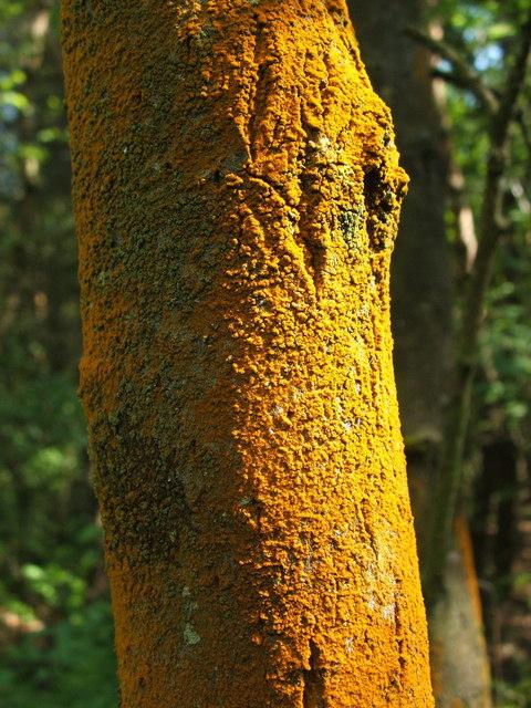An alga (Trentepohlia) on a tree