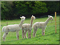 SU8399 : Alpacas at Speen by Andrew Smith