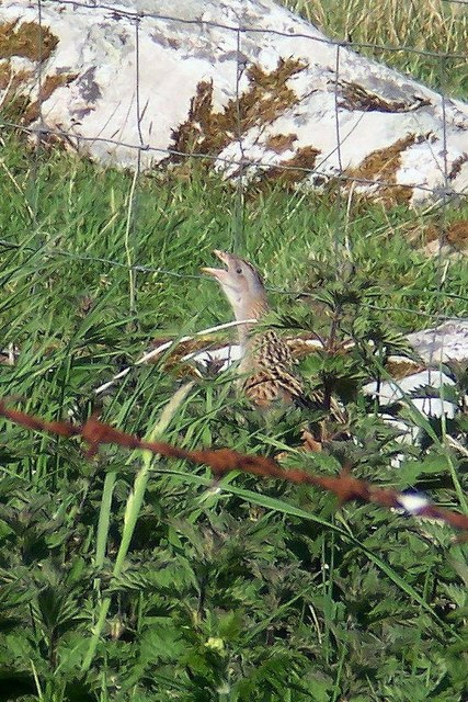 Corncrake at Totronald, Isle of Coll