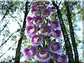 NS4984 : Foxglove (Digitalis purpurea) by Lairich Rig