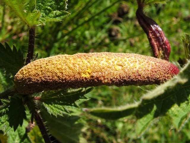 Gall on nettle