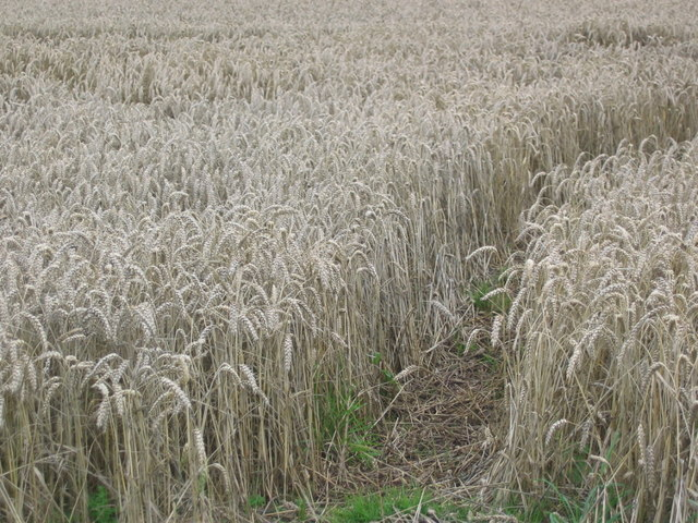 Wheat field, Athelstaneford Mains