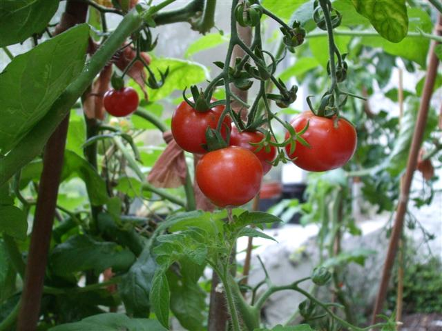 home grown tomatoes, omagh © kenneth allen  geograph ireland, Natural flower