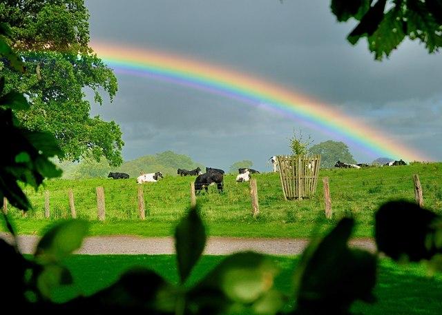 Rainbow Flattens Cows!