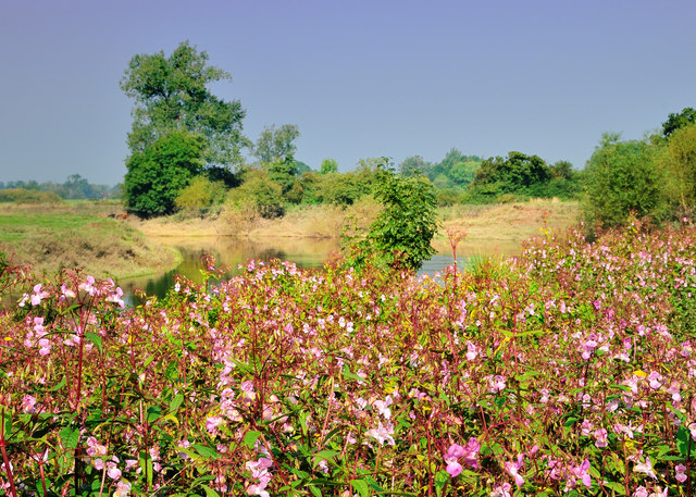 A profusion of Indian Balsam - Impatiens glandulifera