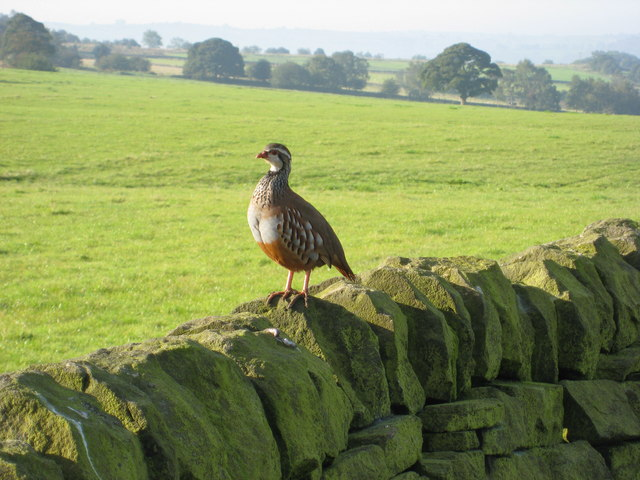 Dry Stone Wall with a Red-Legged Partridge