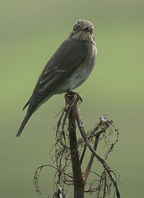 Spotted Flycatcher (Muscicapa striata), Norwick