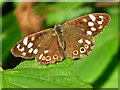 TL1870 : Speckled Wood Butterfly by Courtenay Roach
