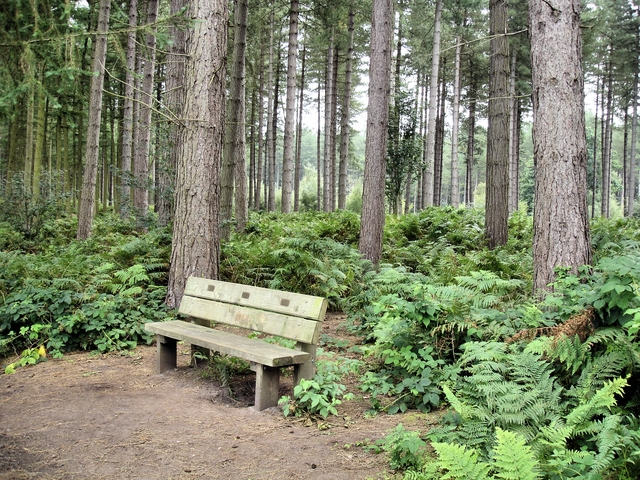 Norley - Delamere Forest - bench beside track at the forest edge