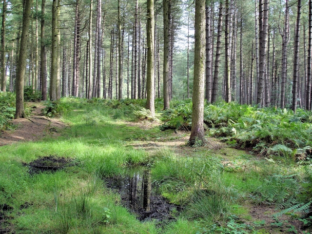 Norley - Delamere Forest - track near the Sandstone Trail