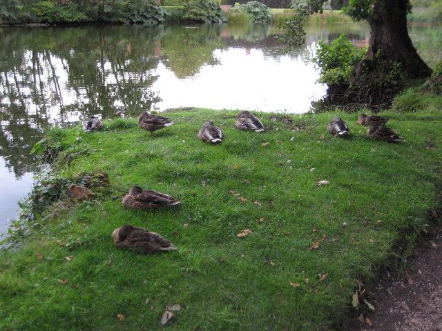 Ducks settling down for the night