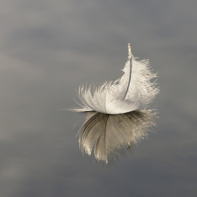 Swan feather on Hatchet Pond