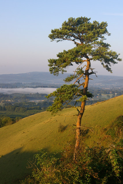 Lone Scots Pine, Colley Hill