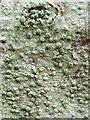 NS3883 : A lichen - Pertusaria pertusa by Lairich Rig
